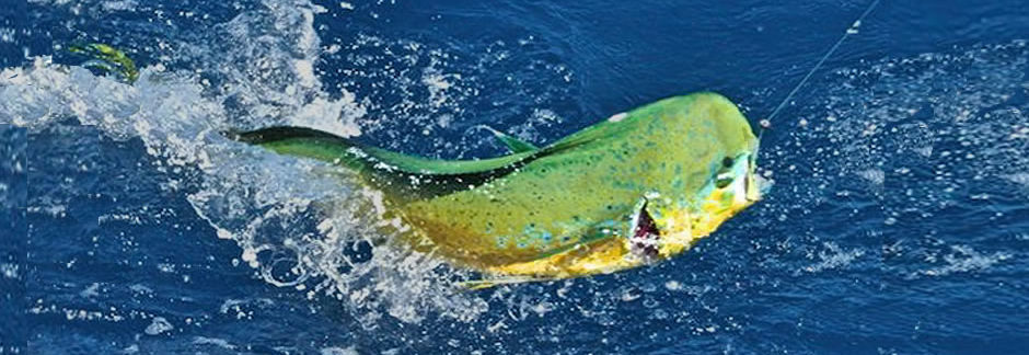 large mahi caught off boynton beach on the Geno IV fishing charter